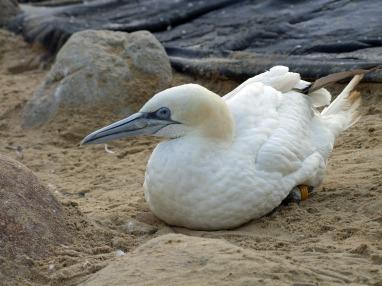 northern-gannet-morus-bassana-190435_1920