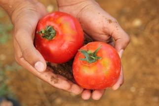 tomato-2450370_1920